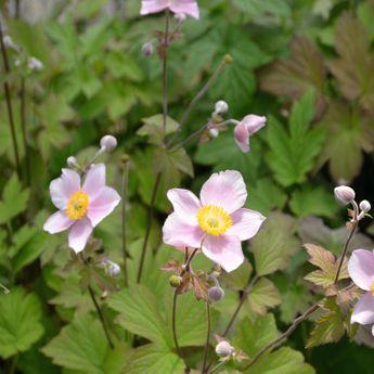 ANEMONE DU JAPON X HYBRIDA ROSE - PLANT