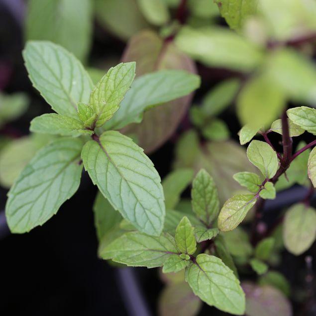 MENTHE VERTE - PLANT