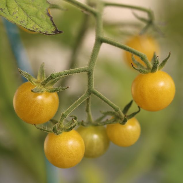 TOMATE BULLE NT