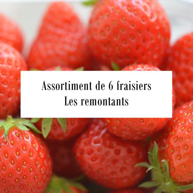 ASSORTIMENT DE 6 FRAISIERS REMONTANTS