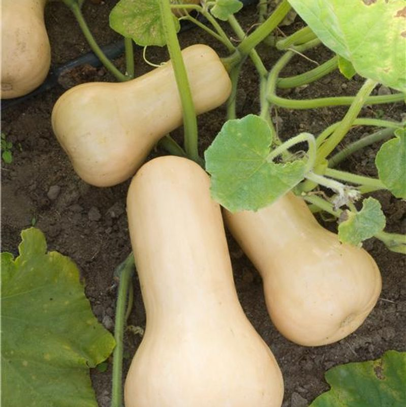 courge butternut ab ferme de sainte marthe. Black Bedroom Furniture Sets. Home Design Ideas