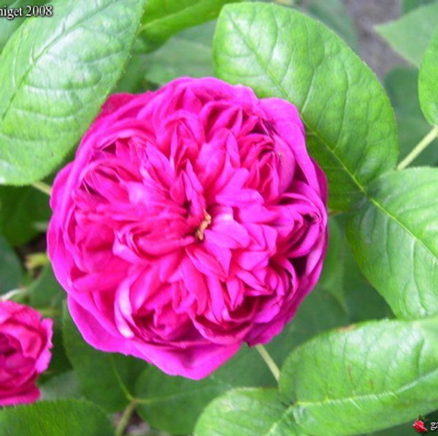 ROSIER ROSE DE RESCHT - ANCIEN